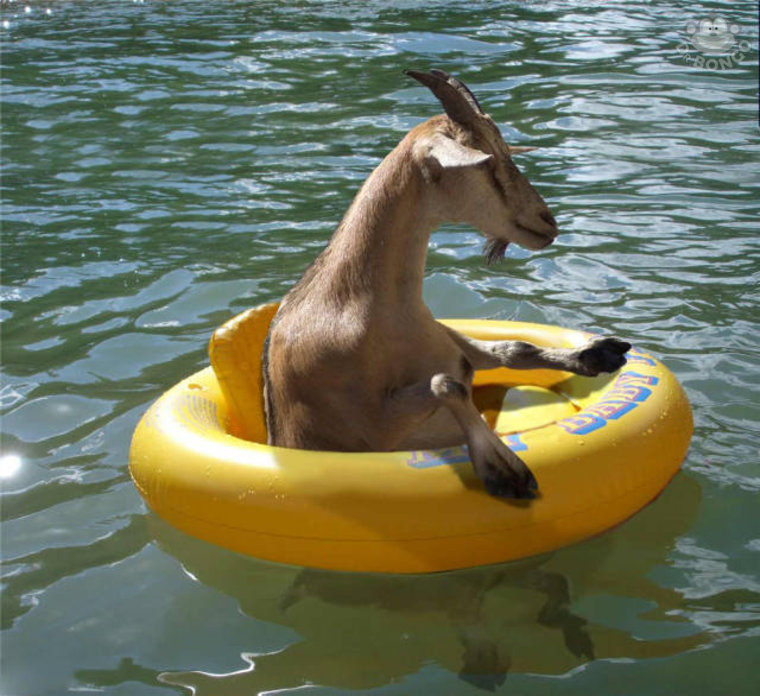 floating goats