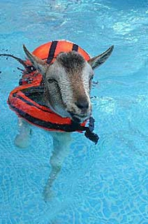 fred the floating goat